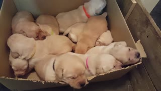 10 tiny Labrador pups in cardboard box - Video