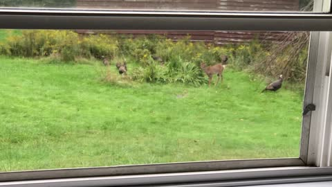 Mischievous Fawn Tries To Play With Wild Turkeys