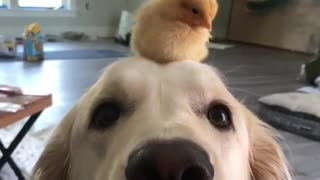 Dog And Chick Are Best Friends Who Love To Spend Time Together