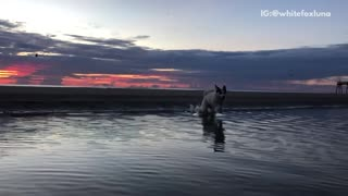 White dog slow motion runs across water sunset - Video