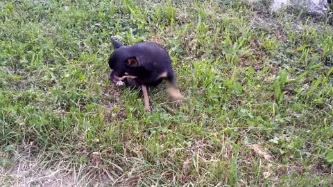 Chihuahua drags itself on the ground