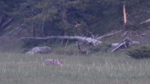 Coyote Dining at Dusk