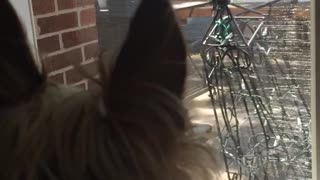 Brown yorkie looking outside window and howling  - Video