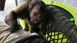 Monkey Having Fun Playing With Play Doh and Stealing It.  - Video