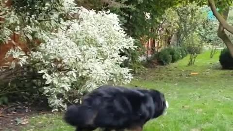 The story of two Bernese Mountain Dogs