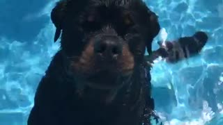 Two black dogs standing in pool - Video