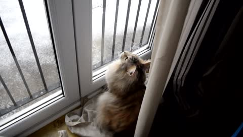 Maine Coon Cat named Narnia is mesmerised by her first heavy snowfall