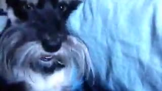 Dog goes crazy growling.