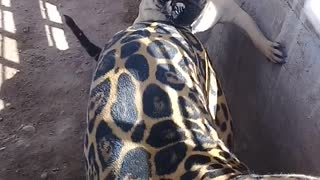 Pug Playfully Pesters Jaguar Pal