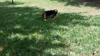 Pippin black and brown dog playing fetch in backyard