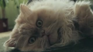 A beautiful and furry cat likes to lie on the floor. - Video