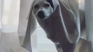 Angry white dog with white curtain on head