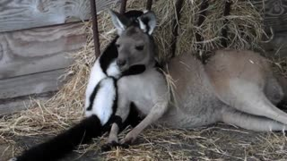 The most annoying lemur in the world - Video