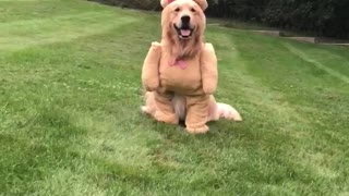 Dog Shows Off Cute Teddy Bear Costume - Video