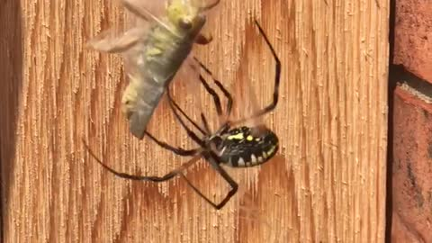 Spider Wrapping up His Meal