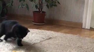 Cute cat plays with a belt