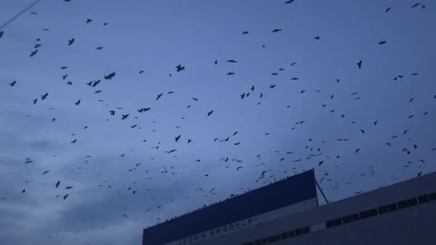 A Million Crows flying around in Japan - WTF!