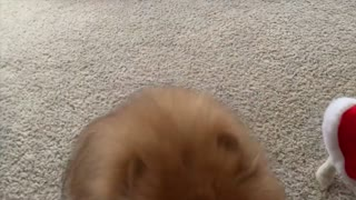 Pomeranians First Snow Fall This Winter