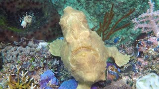 Giant Swimming Frog-Fish - Video