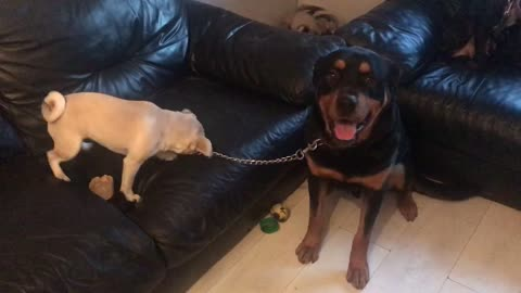 Puppy takes Rottweiler for walk