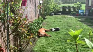 Belgian Malinois shares precious bond with kitty friend