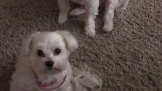 Two dogs look up in unison  - Video