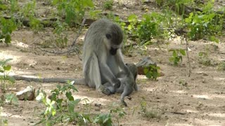 Adorable baby monkeys playing  - Video