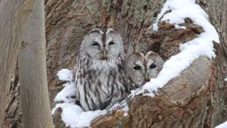 Two Tawny Owls Peer out from Tree Hollow