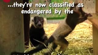 Little Baby Lemurs - Video