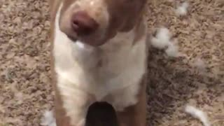 Brown dog eating cotton from stuffed animal - Video