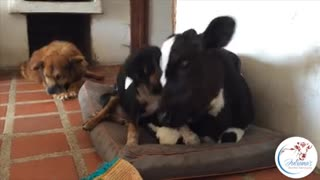 Abandoned puppy and veal calf form inseparable bond - Video