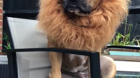 Dog unleashes epic lion's mane for Halloween