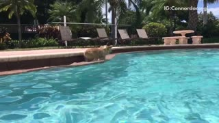 Brown corgi runs around edge of pool
