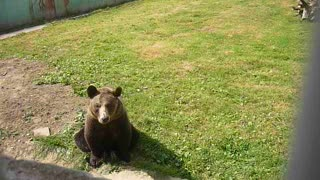 Brown bear - Video