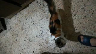 My cat wants to play with rope & funny cat videos - Video