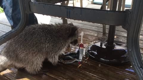 Pet Raccoon Is On Hidden Camera With Water Hose Trick
