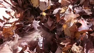 Golden Retriever's first time jumping into pile of leaves