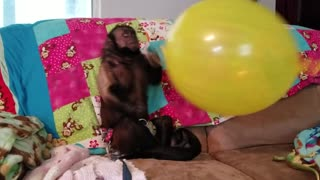 Monkey With His Big Balloon  - Video