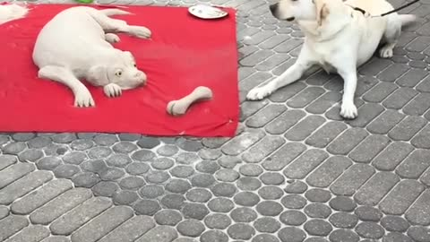 Cute pup confused by dog sand sculpture
