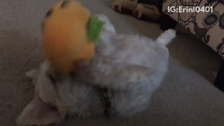 Brown dog laying on carpet on its back playing with pumpkin toy - Video