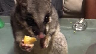 Possum Stealing Snacks