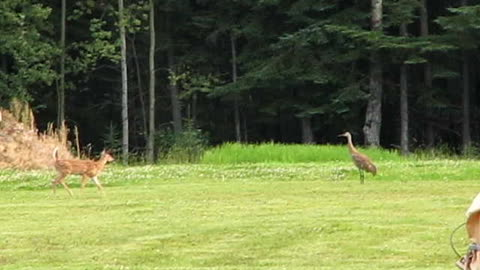 Fawn Scared off By Sandhill Crane
