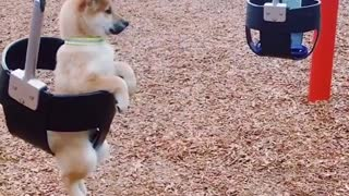 Shiba Inu puppy enjoys swinging at the park