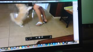 Puppy reacts to owner's voice on video