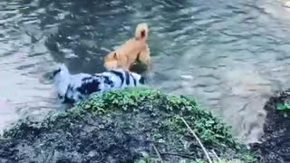 Dogs take time out to play in the water - Video