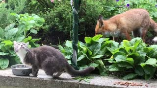 This Sweet Fox And Cat Share An Incredibly Rare Friendship