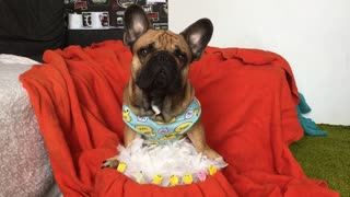 French bulldog makes cute baby chicks  - Video