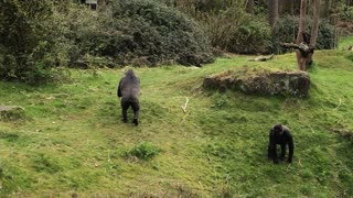 Gorillas Capture Baby Ducklings - Video