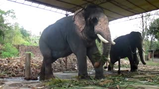 Kollam Tourism - Puthenkulam elephant village - Elephant ride, Elephant bathing, Elephant feeding