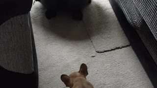 French bulldog scared to pass hoover
